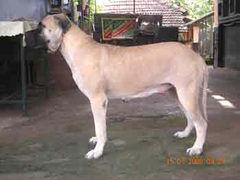 Litter Box - Bullmastiff - Maximus Kennels - Vijay