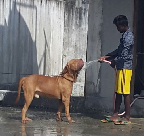 DogsIndia.com - French Mastiff - Adoption - Rohan