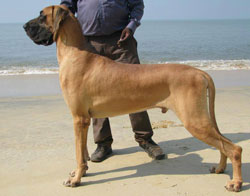 Dogs India Great Dane Faithtrot