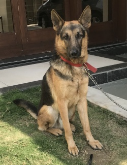 DogsIndia.com - Free Adoption - Classifieds