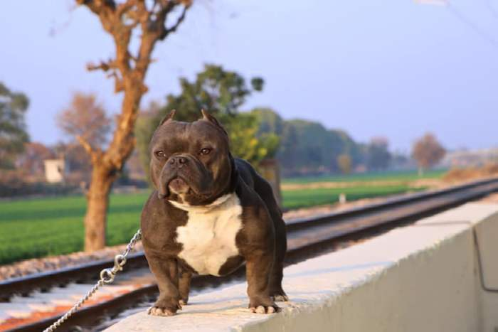 Litter Box American Bully Utkarsh Singh Hs Bullies