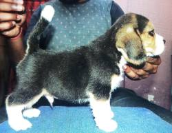 DogsIndia.com - Beagle - Kinderlands Beagles - Kishore