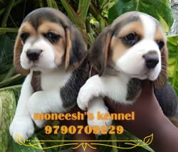 DogsIndia.com - Beagle - Moneesh's Kennel - Illangovan
