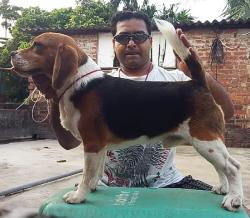 DogsIndia.com - Beagle Grown-Up - Dr. Ravi