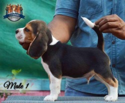 DogsIndia.com - Beagles - Rockford Beagles - Suhas Shetty