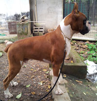 Boxer Dogs For Sale Bay Area