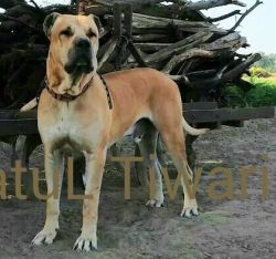 DogsIndia.com - Bulli Kutta - Indian Mastiff