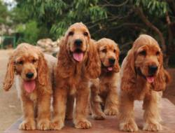DogsIndia.com - Cocker Spaniel - English - Casagold Kennel - Cherian