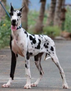 DogsIndia.com - Great Dane - Mayaa's Kennels