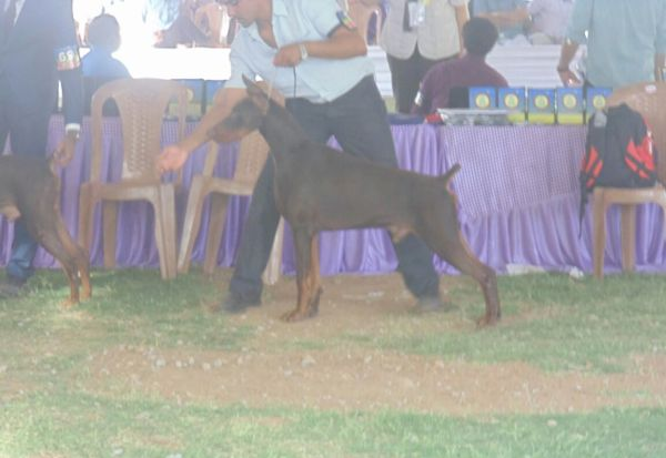 DogsIndia.com - Dobermann Grown Up For Sale - Rionna Kennels