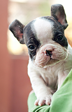DogsIndia.com - French Bulldog - Dvijatman Kennels
