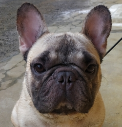 DogsIndia.com - French Bulldog - Gobees Kennel, Gobinath