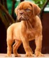 DogsIndia.com - French Mastiff - Dogue de Bordeaux - Dvijatman Kennels