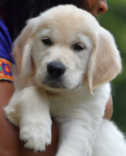 DogsIndia.com - Golden Retriever - Bessies