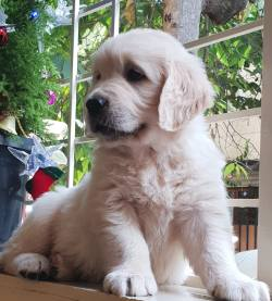 Dogs India All About Dogs Breeders Breeds Indian Breeds And