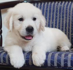 DogsIndia.com - Golden Retriever - Chiming Bells