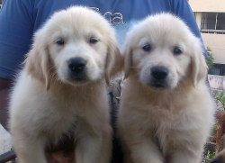 DogsIndia.com - Golden Retriever - Deenjons Kennel