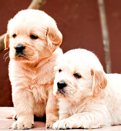 DogsIndia.com - Golden Retriever - Dvijatman Kennels