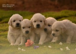 DogsIndia.com - Golden Retriever - Mathsa, Girish