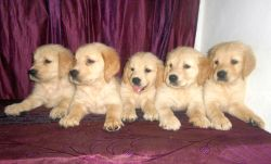 DogsIndia.com - Golden Retriever - Gold Flakes Kenne