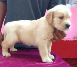 DogsIndia.com - Golden Retriever - Gold Flakes Kennel