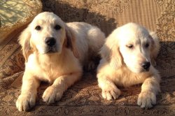 DogsIndia.com - Golden Retriever - Prem