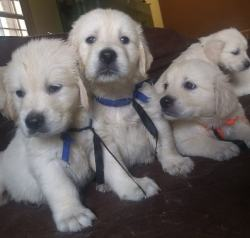 DogsIndia.com - Golden Retriever - Prem - Elixir Kennels