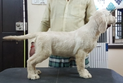 DogsIndia.com - Golden Retriever - Sivanandhini