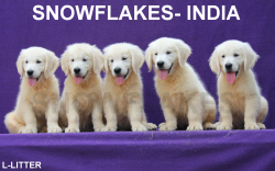 DogsIndia.com - Golden Retriever - Snowflakes Kennel