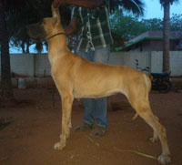 Dogs India Great Dane Aniva