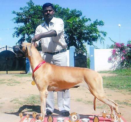 Монопородная выставка Индии - Страница 2 Great_dane_ashok_kumar_dam_23-4-11