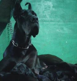DogsIndia.com - Great Dane - Catalogue Kennels