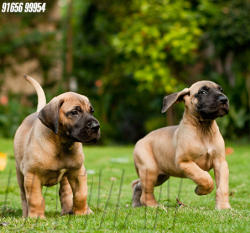 DogsIndia.com - Great Dane - Dvijatman Kennels