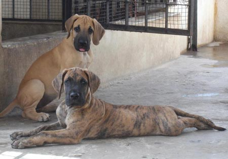 What Are Great Danes Bred For Litter Box - Great Dan...