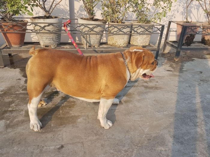 DogsIndia.com - Bulldog - Grown-Up For Sale - Vipul