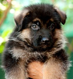 DogsIndia.com - German Shepherd Dog - GSD - Dvijatman