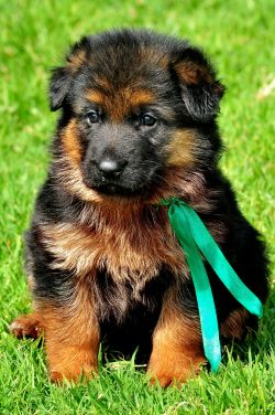 DogsIndia.com - German Shepherd Dog - Siva, Ooty