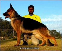 DogsIndia.com - German Shepherd Dog (GSD) - Yoyo Kennels