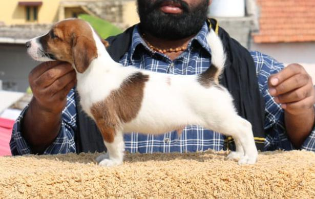 DogsIndia.com - Jack Russell Terrier - Ragos Kennel