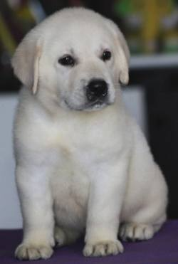 DogsIndia.com - Labrador Retriever - Apple Kennel