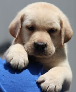 Where In India Certified International Dogs For Sale Are Availablr
