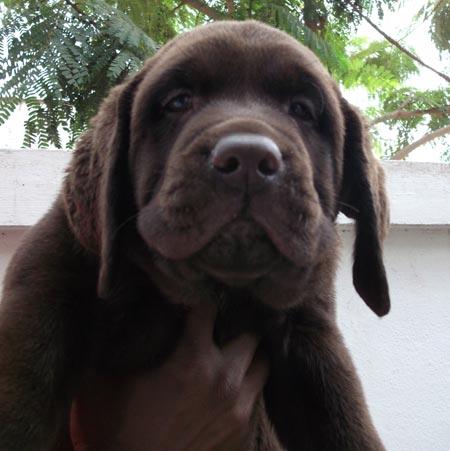 Litter Box Labrador Blue Eyed Kennels