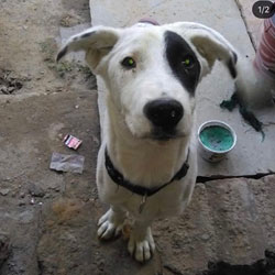 Dogs India - All about dogs, breeders, breeds, Indian breeds