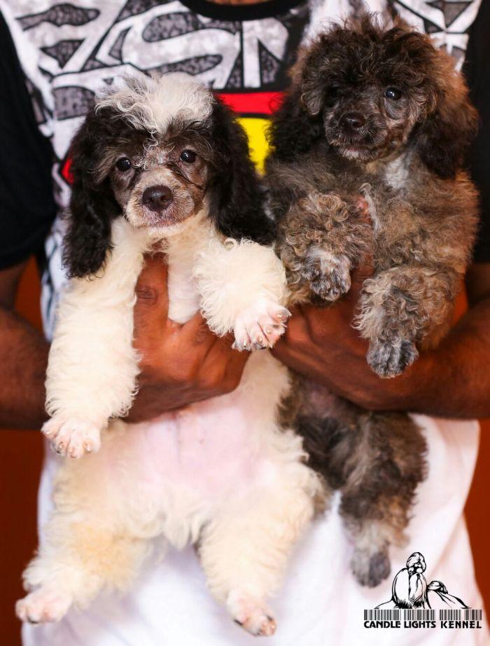 Dogsindia Com Miniature Poodle Candle Lights Kennel