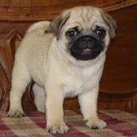 Free Pug Dogs In India