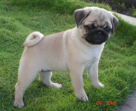 how to puppy train a pug
