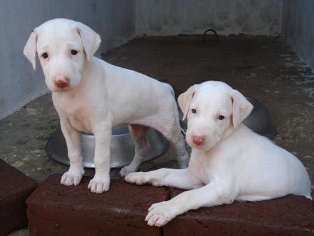 Dogs Or Puppies For Sale