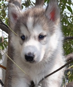 DogsIndia.com - Siberian Huskies - Short Faced Wolves Kennels - Rahul