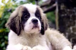 DogsIndia.com - St. Bernard - Royal Squad Kennel - Praful