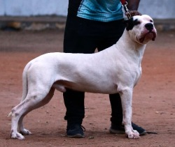 Dogs India - All about dogs, breeders, breeds, Indian breeds and